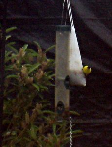 goldfinch on sock feeder