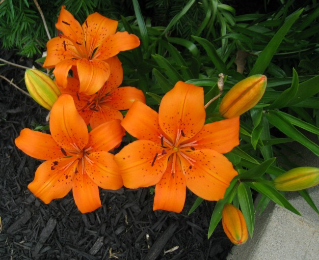 Day lilies in my home's front garden bed