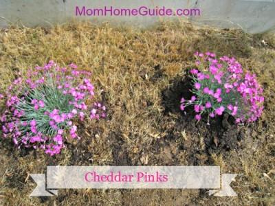 cheddar pinks_MHG