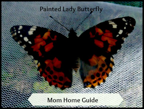 insect lore, butterfly, painted lady