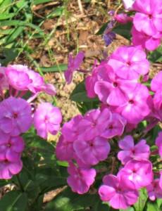 A Sunny Perennial Flower Garden