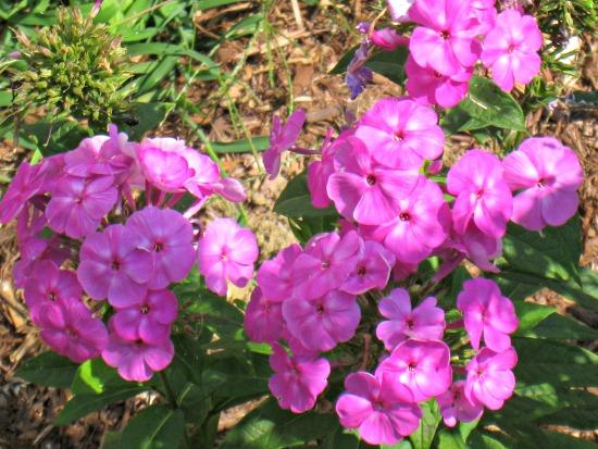 perennial, summer, garden, phlox