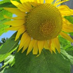August Garden Tour with Mammoth Sunflowers