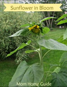 Butterflies, Sunflowers and Ladybugs