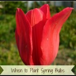 Time to Plant Spring Bulbs