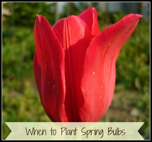 when to plant spring bulbs