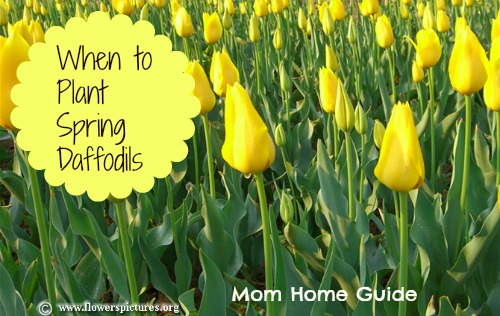 when to plant daffodils