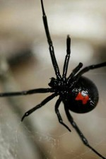 orkin, black widow spider