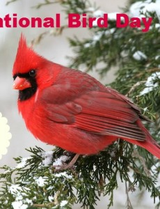 national bird day, cardinal