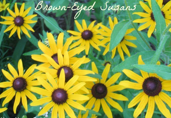 Summer Flowers: Black Eyed Susans