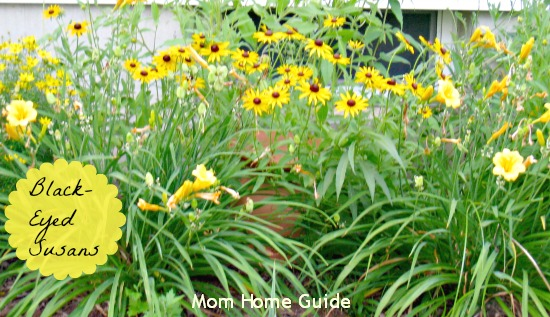 garden, summer, perennial, black, eyed, susan