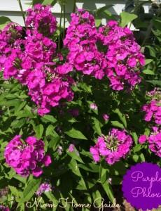 perennial, garden, summer phlox, purple