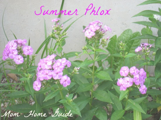 summer, purple, phlox