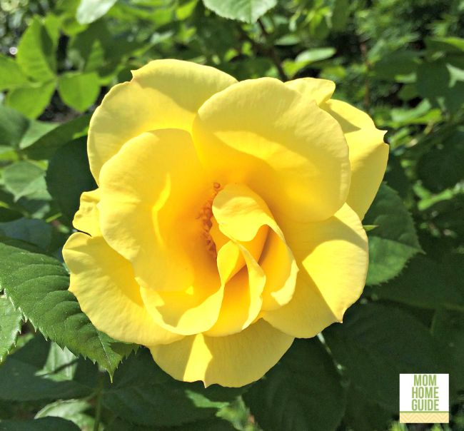 Sunny yellow rose