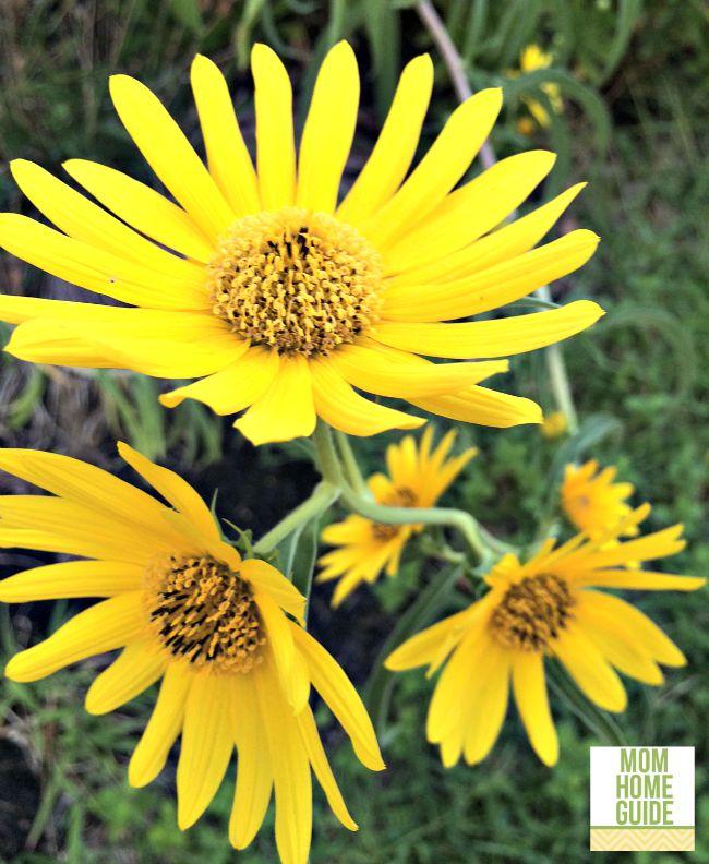 Sunny yellow autumn perennials