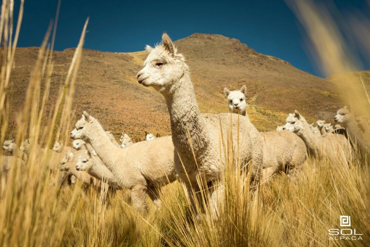 Alpaca fibers has exceptional thermal qualities.