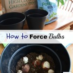 How to Force Bulbs in Winter