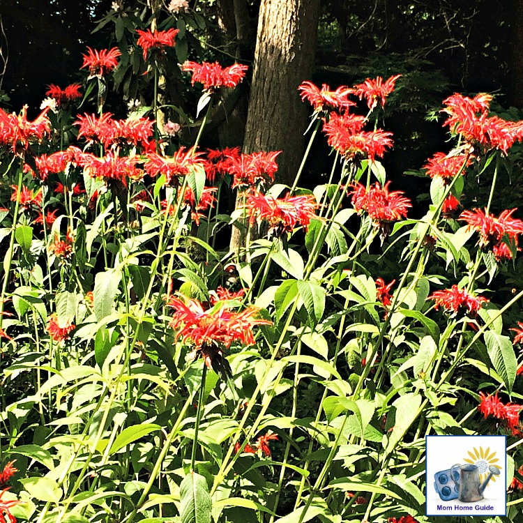 Beautiful Bee Balm flowers at Sayen Gardens in Hamilton NJ