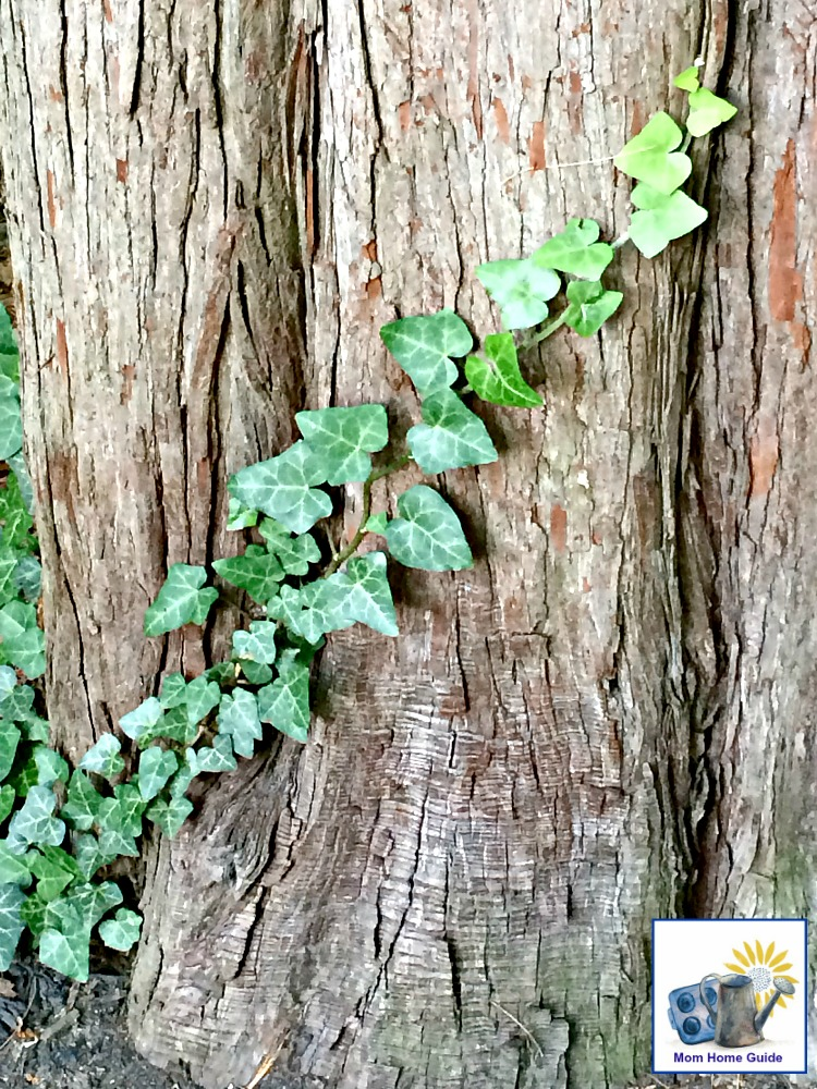 ivy growing on a tree in Sayen Gardens