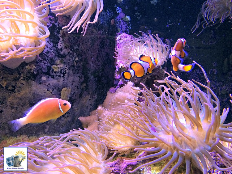 "Clown fish (like the clown fish in ""Finding Nemo"" and ""Finding Dory"" at the Mystic Aquarium in Connecticut"