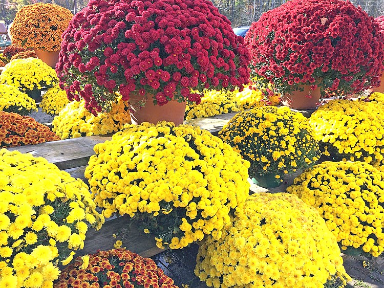 beautiful fall mums