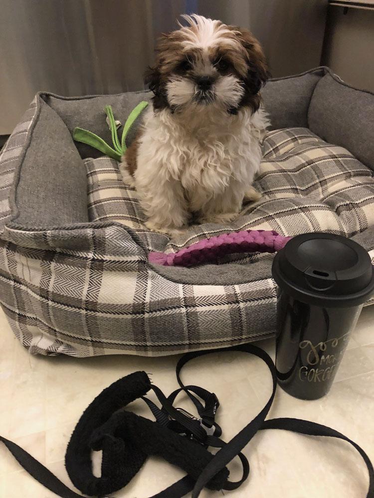 shih tzu puppy with cute travel coffee mug dog harness and leash