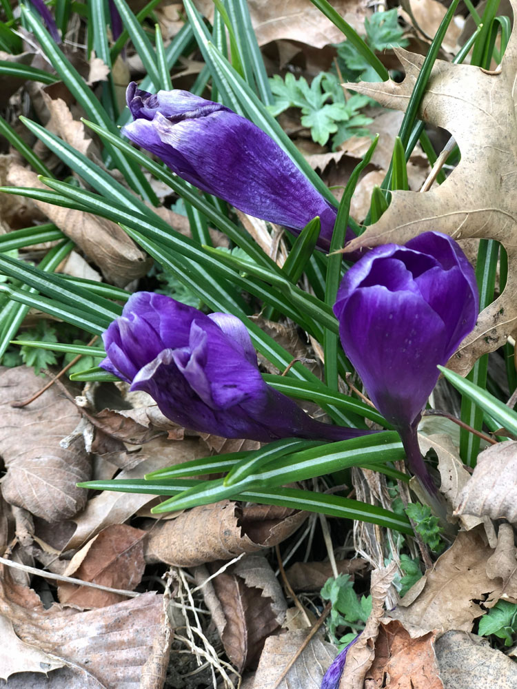 purple spring crocus