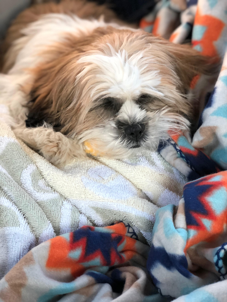 A cute Shih Tzu puppy napping