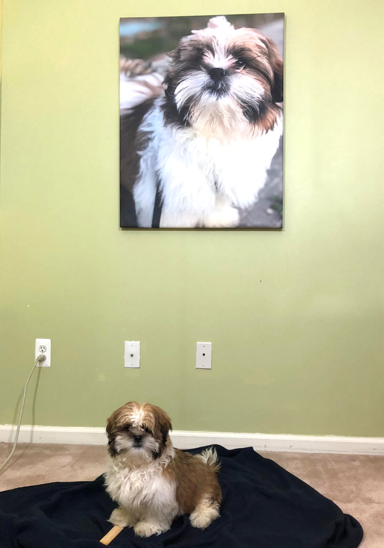 Puppy sitting in front of a home hallway gallery wall with a canvas photo print of him on the wall behind him