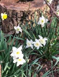 blooming daffodils against a tree stump