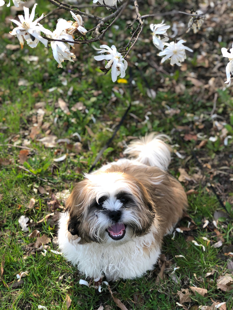 Shih Tzu puppy under a flowering tree