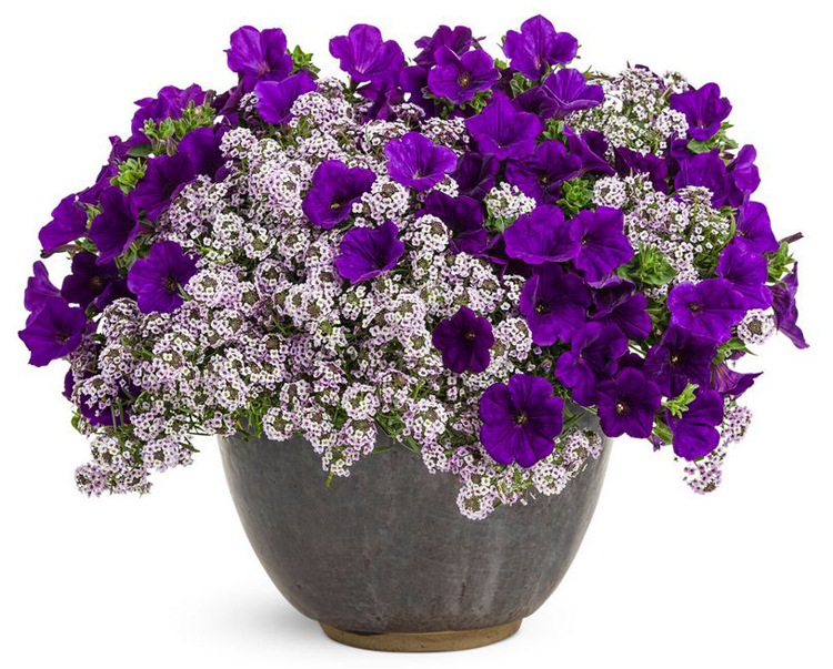container garden with petunia and alyssum