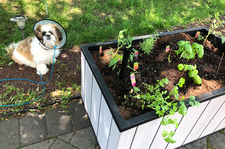 Shih Tzu puppy and a raised patio garden planted with herbs and vegetables