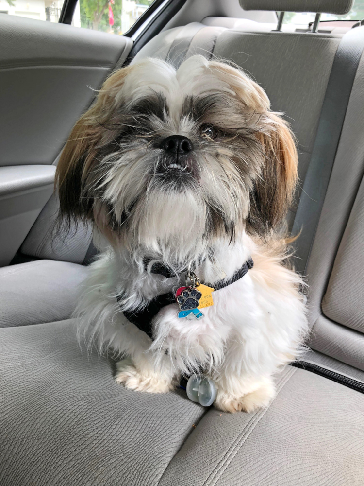 Shih Tzu in the back seat of a car