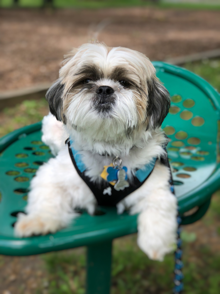 Adorable Shih Tzu puppy on a park bench