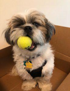 cute Shih Tzu puppy in a box holding a tennis ball