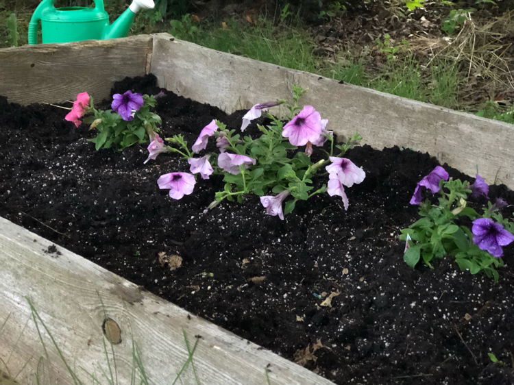 Annual flowers planted in a raised garden bed