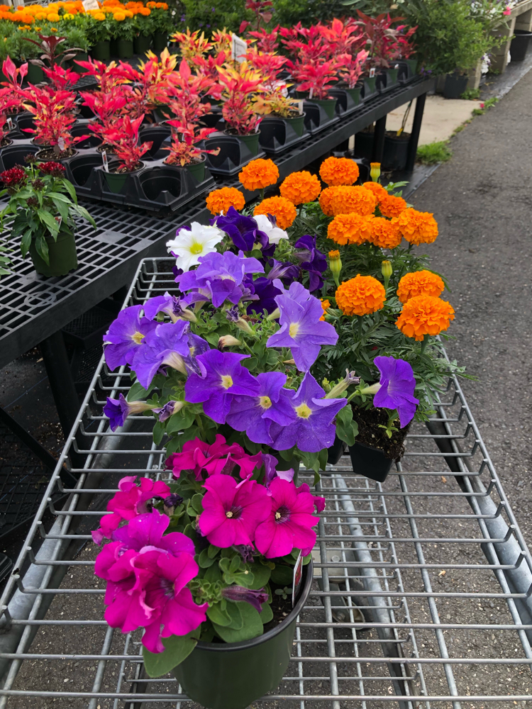 colorful potted annual flowers