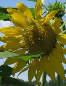 a closeup of a sunflower