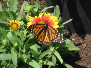 Monarch Butterfly at Turtle Back Zoo