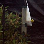 Attracting Goldfinches to Your Yard