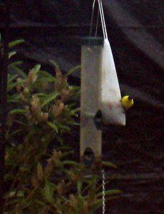 goldfinch on sock feeder