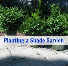 planting a shade garden with boxwood