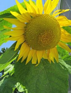 mammoth, sunflower, bloom, garden, august