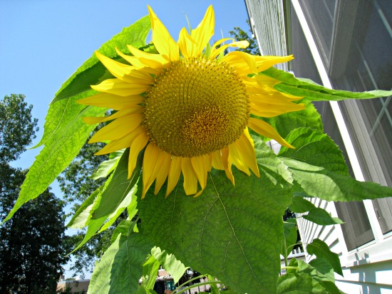 mammoth sunflower, droop