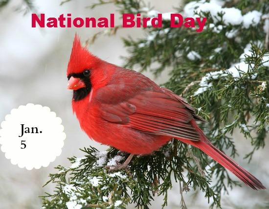 january 5, national bird day, cardinal
