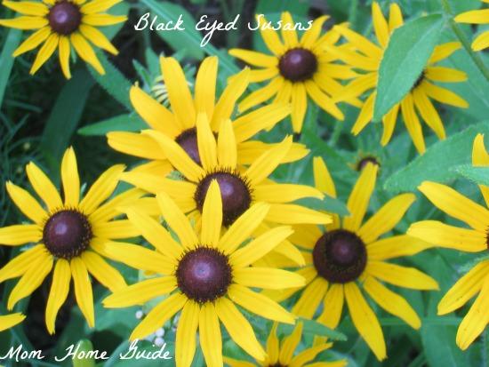 black, eyed, susan, garden