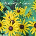 Summer Flowers: Black Eyed Susans