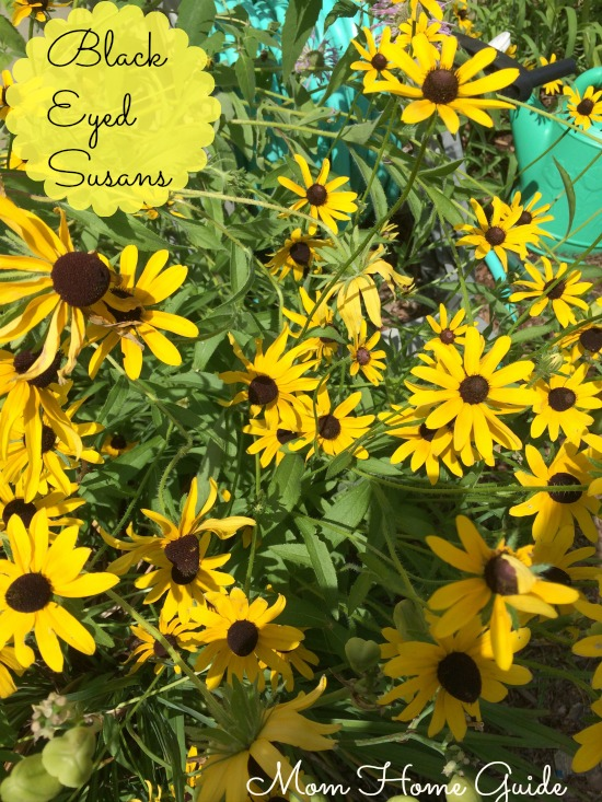 perennial, garden, summer, black, eyed, susan