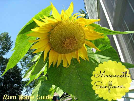 mammoth, sunflower, summer, garden
